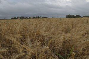 Kornet snart färdig att tröskas